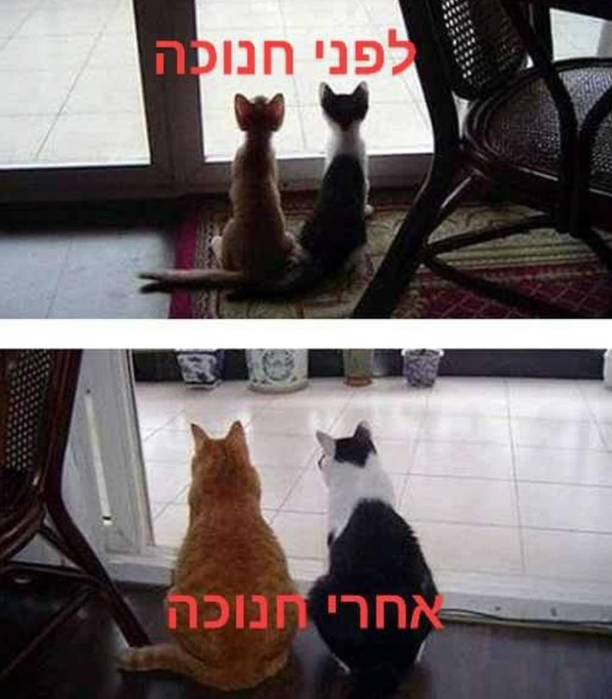 לפי חנוכה: חתולים רזים , אחרי חנוכה: חתולים שמנים